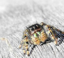 Are You Looking At Me Little Jumping Spider? by sternbergimages
