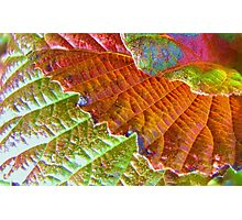 viburnum leaves at fall Photographic Print