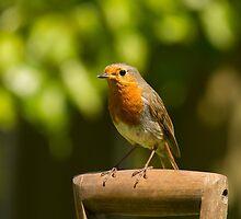 Robin by Jon Lees