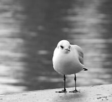 seagull by Anne Seltmann