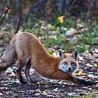 STOCK-Downward Fox by Jay Ryser