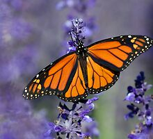Monarch Butterfly by Laurie L. Snidow