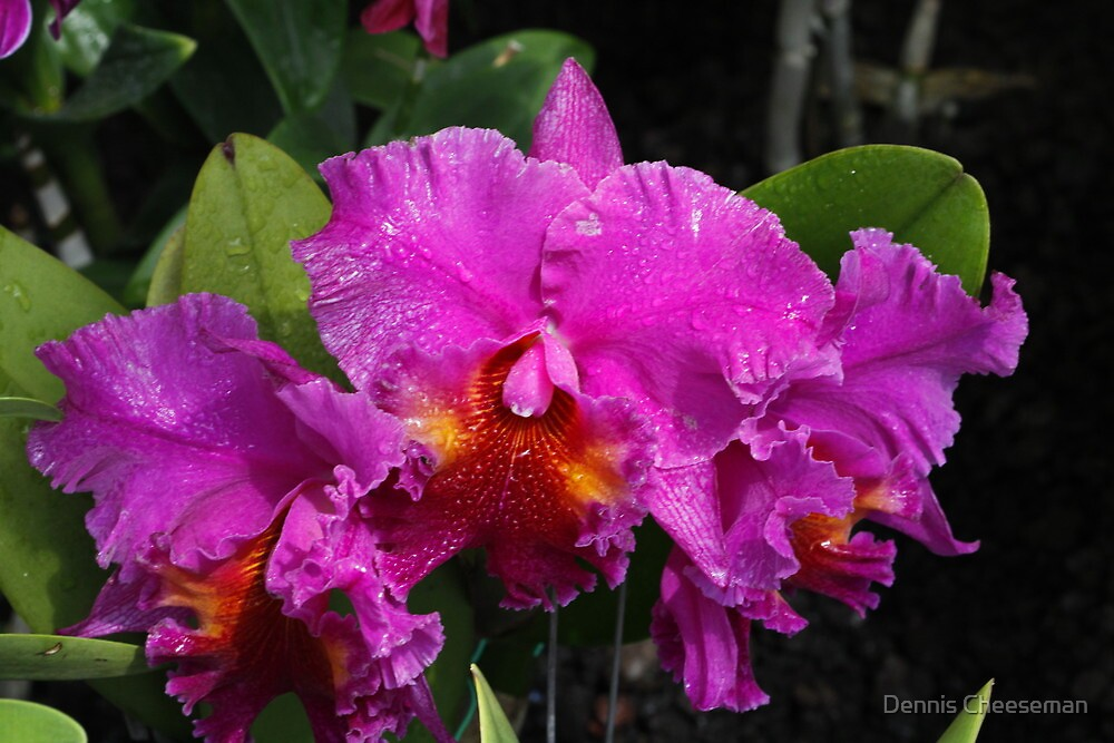Orchid by Dennis Cheeseman