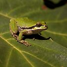 Pacific Treefrog by Martin Smart