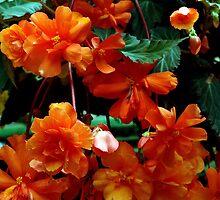 Begonia Cluster by Jann Ashworth