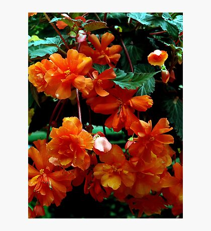 Begonia Cluster Photographic Print