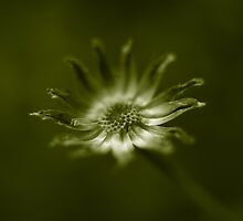end of daisy days by Clare Colins