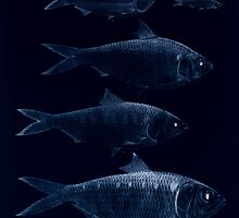 The fishes of India by Francis Day 162 - Inverted - Clupea lile Corica soborna Ilisha Tridia by wetdryvac