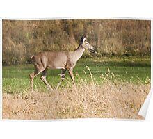 Female Deer Poster