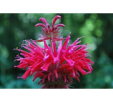 Bee Balm Photographic Print