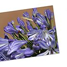 Agapanthus Card by LynneHerry