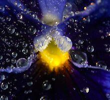 Purple pansy by Jim Butera