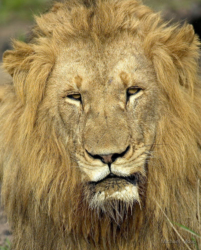 Close Up Lion by Michael  Moss
