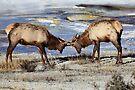 Sparring Elk at Mammoth Hot Springs,  Yellowstone N.P. by Ann  Van Breemen