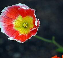 In Flanders fields the poppies blow. by Bernard (Ben)  Bosmans