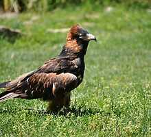 Magra the wedge tail eagle by Luke Donegan