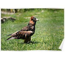 Magra the wedge tail eagle Poster