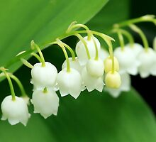 Lily of the valley by Chris Coates