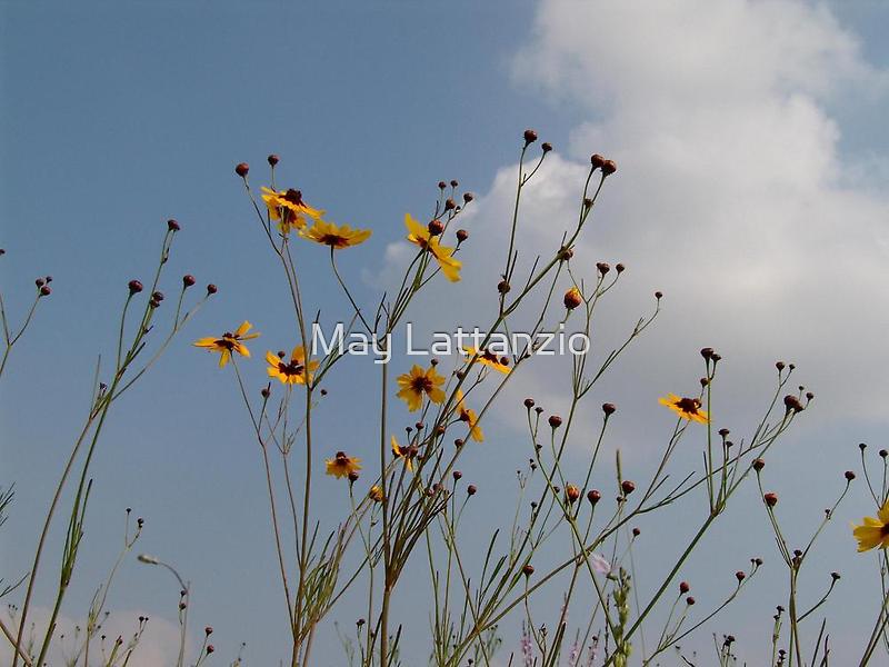 Wild Coreopsis by May Lattanzio