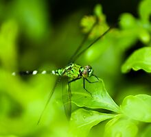 Dragon Fly New Orleans LA USA 1 by GJKImages