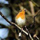 Robin Red Breast by mrsquickers