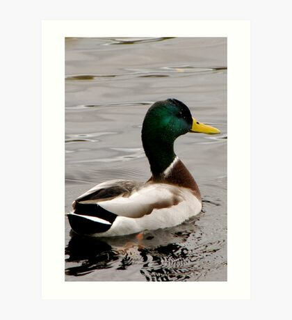 Charles River Duck Art Print