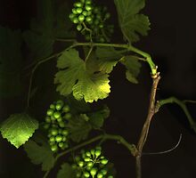 Wild Grape by Barbara Wyeth