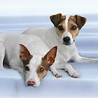 Jack Russel Terriers - We swear we didn&#x27;t chase the cat! by Christine Till  @    CT-Graphics