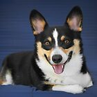 Pembroke Welsh Corgi - substance, stamina and fun in a small space by Christine Till  @    CT-Graphics