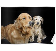 Golden Retriever and Dachshund Puppy - a sweet couple Poster