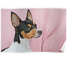 Australian Miniature Fox Terrier Poster