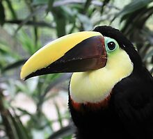 Chestnut-mandibled Toucan by Teresa Zieba