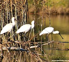 Spoonbills by rodesigns