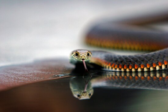 Snake Reflecting by Yanni