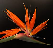 Bird of Paradise by FrankZ