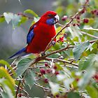Crimson Rosella by WantedImages