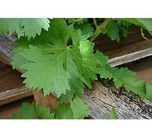 grape leaves Photographic Print