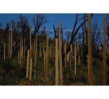 Grass tree's  Photographic Print