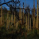 More grass trees by Andrew Hennig
