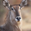 Waterbuck by Jo McGowan