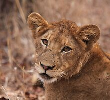 Lion stare by Jo McGowan