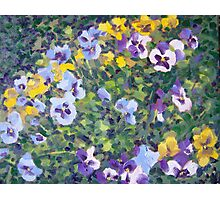 Pansies in Pots Photographic Print