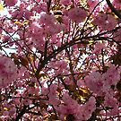 Looking Up into Blooming Tree  by annimoonsong