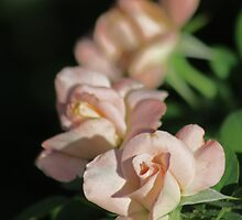 Row of Roses in Perfectly Pink by Corri Gryting Gutzman
