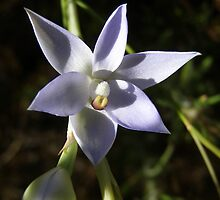 'Blue sun orchid'. Spring Gully conservation Park. S.Australia. by Rita Blom