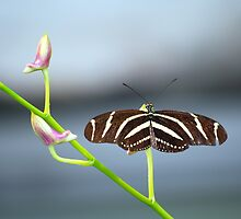 Zebra Longwing by Angela Pritchard