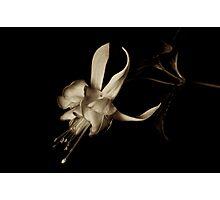Fuchsia in Sepia tone Photographic Print