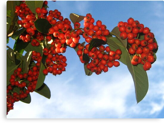 Colorful Berries for Christmas by jsmusic