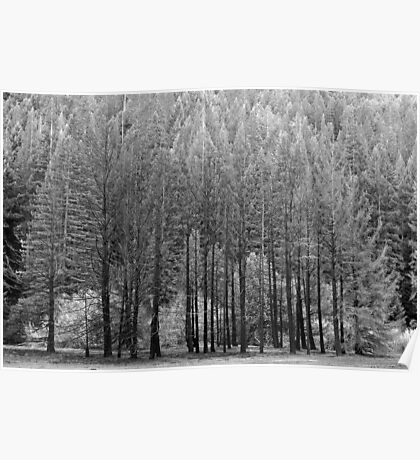 Trees, Anderson Valley, California Poster