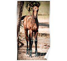 Bob, the stockhorse colt! Poster
